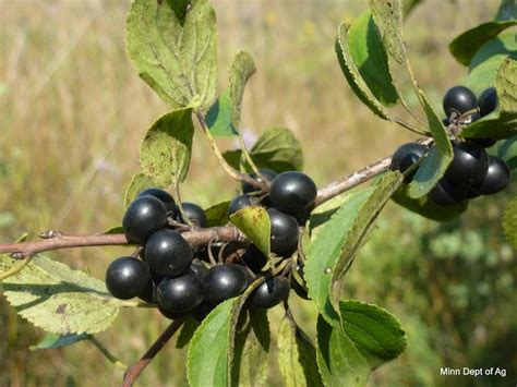 Restricted Noxious Weed Common or European Buckthorn