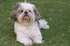 Blog - Dogs That Don't Shed: 23 Hypoallergenic Dog Breeds